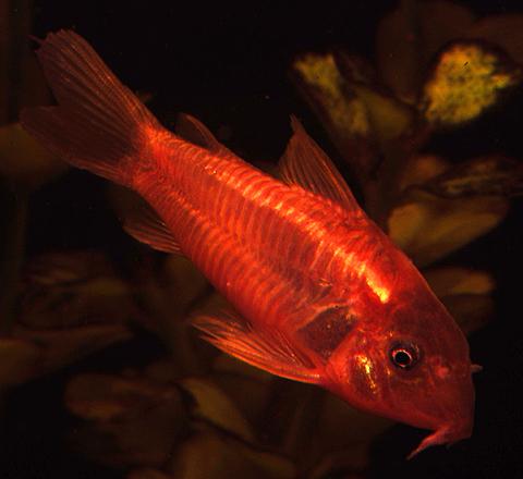 Premium Red Neon Cory Catfish, 1.5