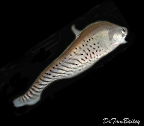 Premium Royal Clown Knifefish, 5