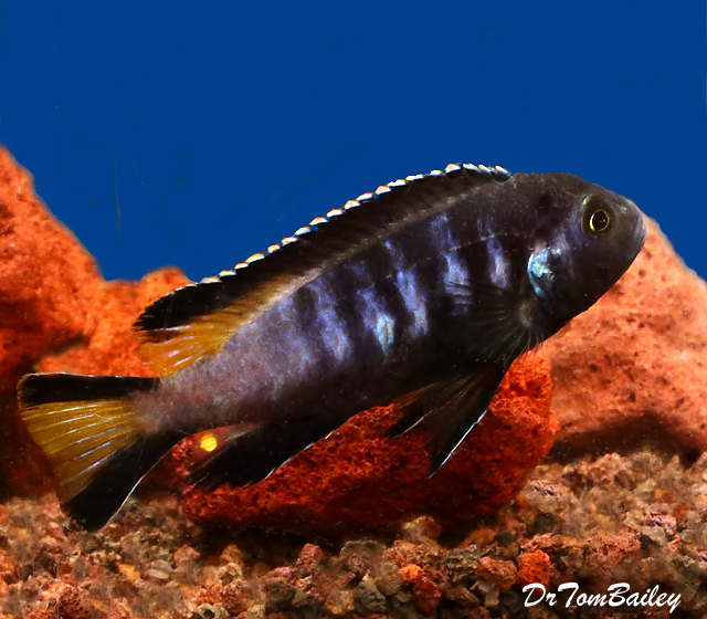 BABY, New, and Exciting, Chewere Elongatus Mbuna Cichlid, 0.75