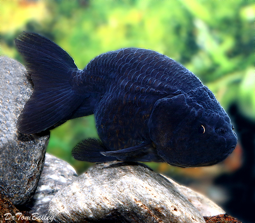 Premium Black Ranchu Goldfish, 1.5