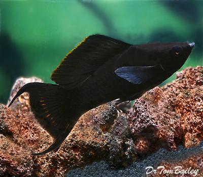 Premium Black Lyretail Molly, Size: 2