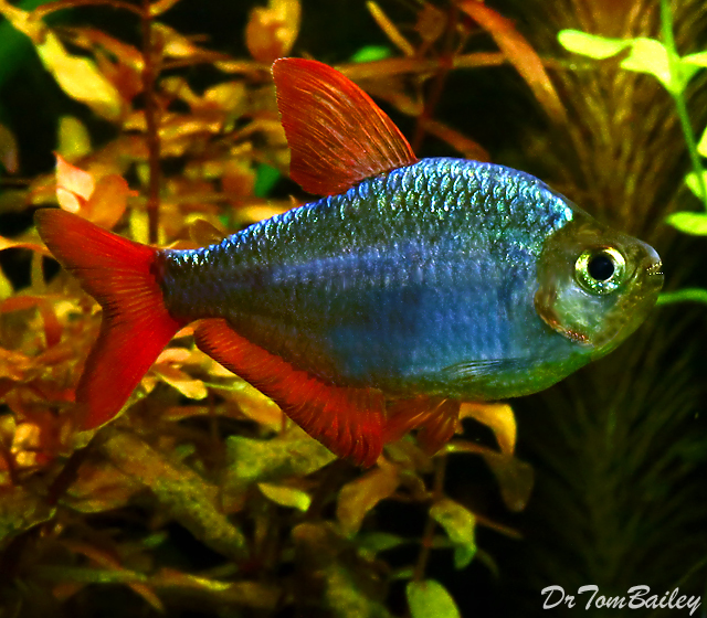 Premium Blue Flame Tetra - also called a Columbian Tetra,  1