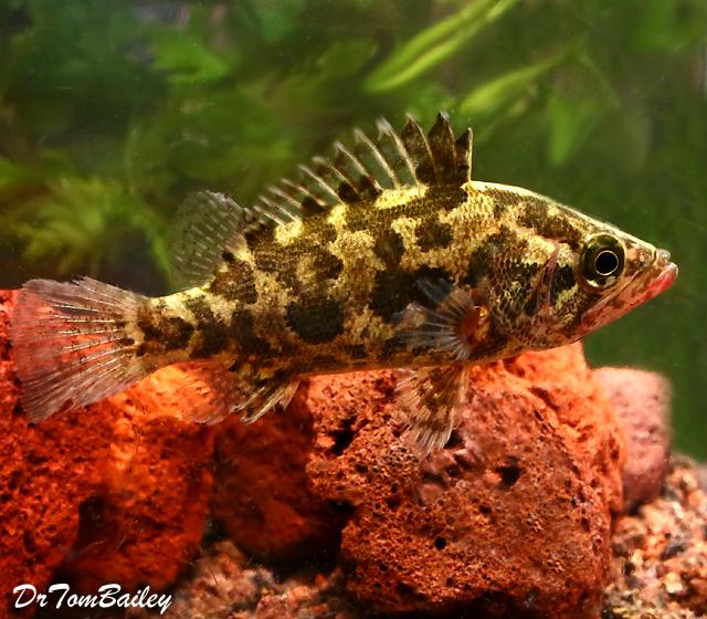 Premium Rare Nandus Leaf Fish, 1