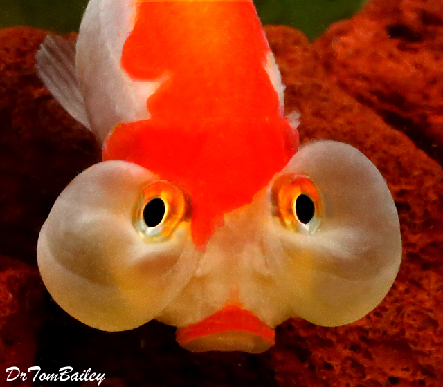 Premium Red & White Bubble-Eye Goldfish, 2