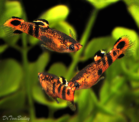 Premium New & Rare, Picta Livebearer Male, 0.75 to 1
