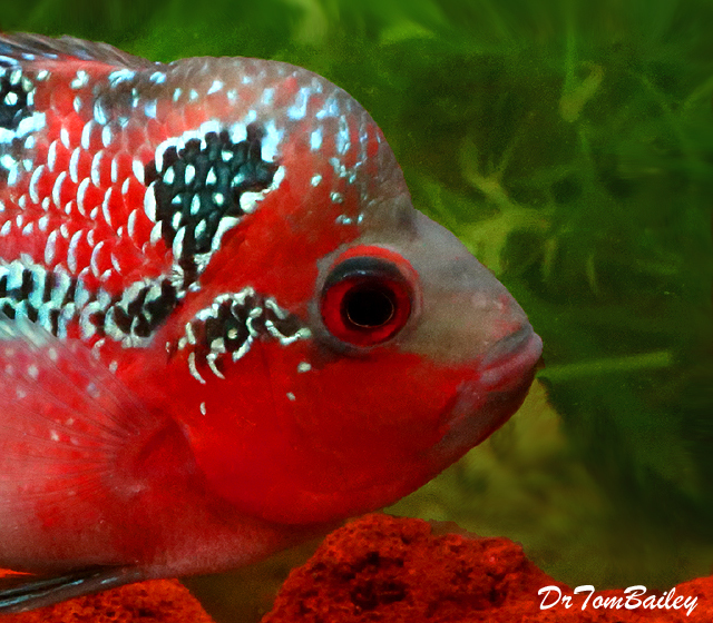 Premium Rare Super Red Dragon Flowerhorn Cichlid, 3.5
