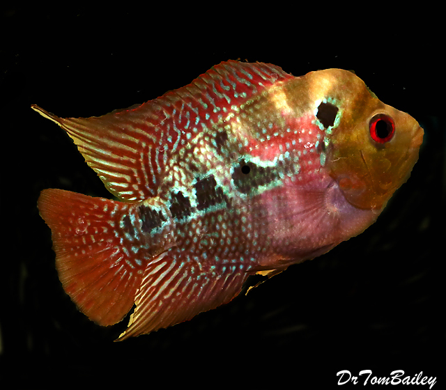 Premium Rare and New, Neo Dragon Flowerhorn Cichlid, 6