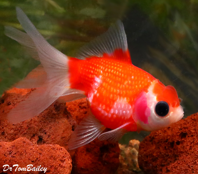 Premium Rare, Assorted Crown Pearlscale Goldfish, 3