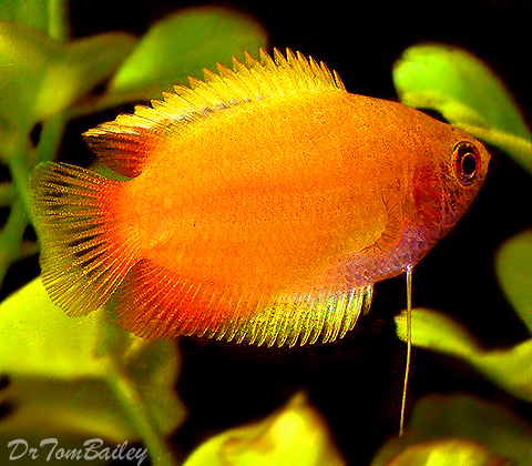 Premium Golden Honey Gourami, 1.5