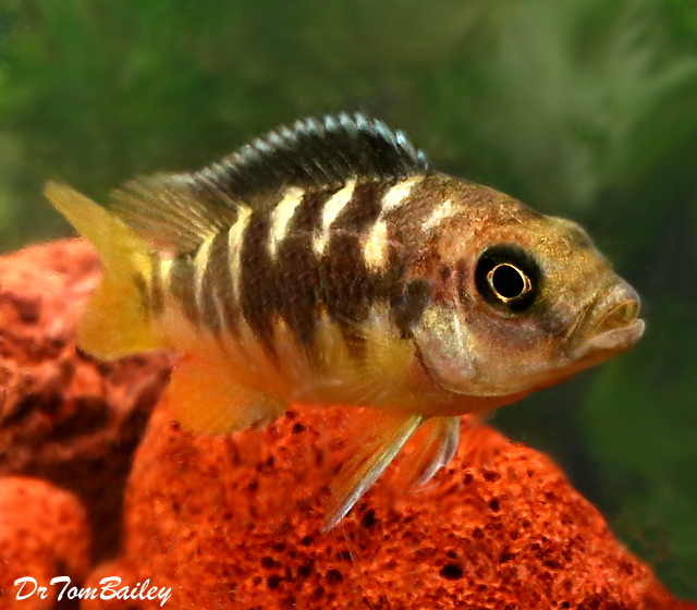 Premium Bumblebee Mbuna Cichlid from Lake Malawi in East Africa, 3.5