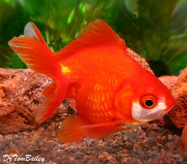 Premium Short-Tail Red Ryukin Goldfish, 2.5