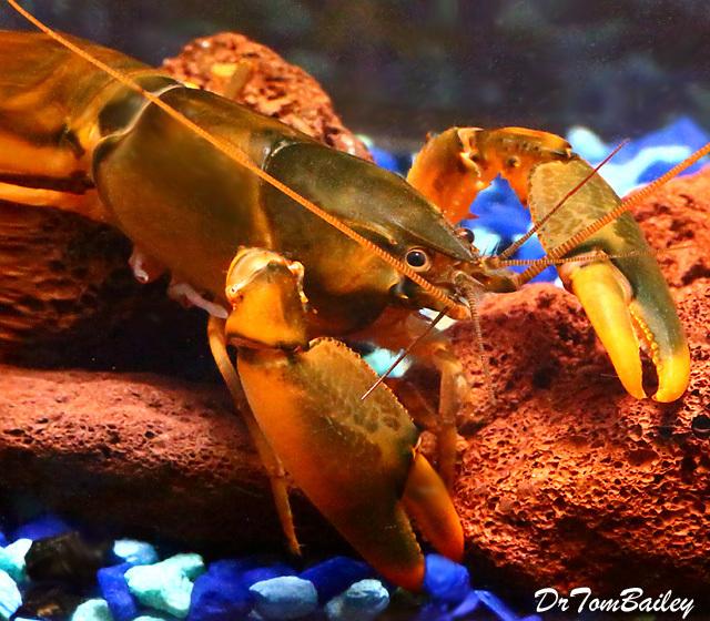 Premium New and Rare, Orange-Hand Lobster, 3