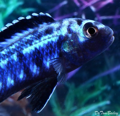 Premium New Electric Blue Melanochromis Johanni, 2.5