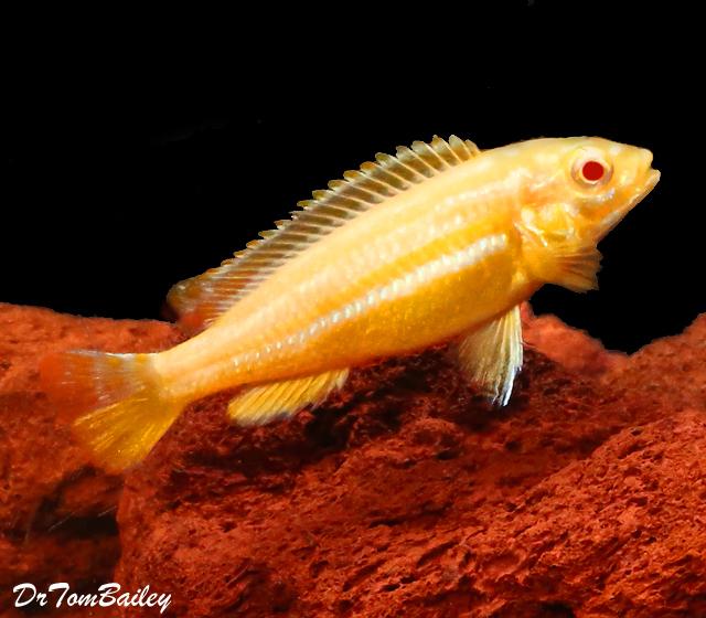 Premium Rare, Lake Malawi Albino Melanochromis Auratus Mbuna Cichlid, 1