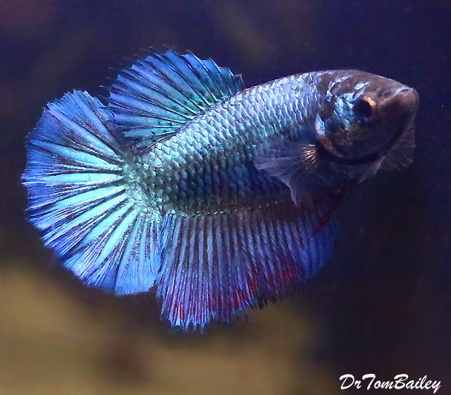 Premium WYSIWYG, Female Half-Moon Metallic Blue Betta, 1