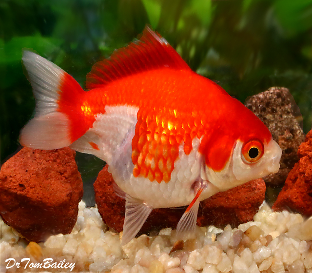 Premium Red & White Short-Tail Ryukin Goldfish, 2.5