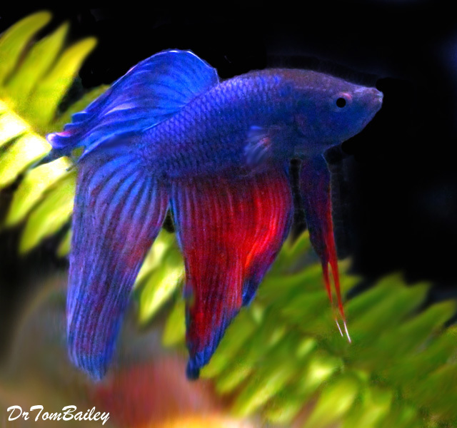 Premium Blue and Red Male Betta, 2