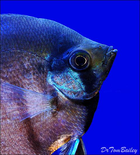 Premium Black Lace Veil Angelfish, 2