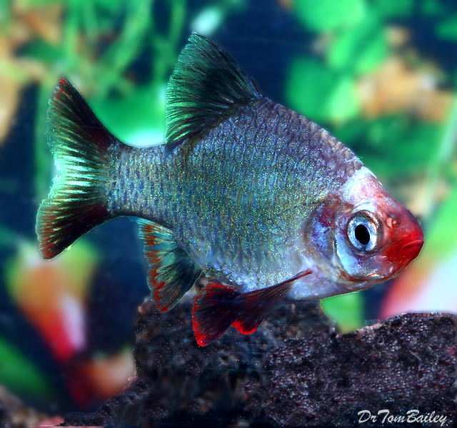Premium Platinum Green Tiger Barb, 1
