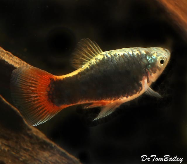"Premium Red Tail Black Coral Platy, 1"" to 1.2"" long"