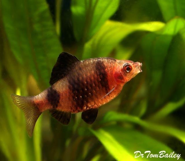 Premium Black Ruby Barb, 1