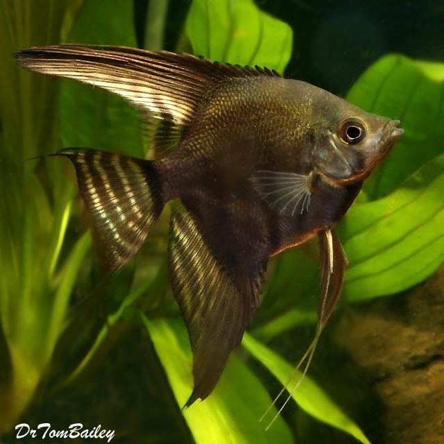 "Premium Black Lace Angelfish, Size: 2"" to 2.5"""