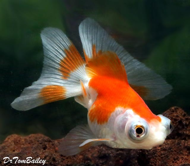 Premium Red Red & White Butterfly-Tail Telescope-Eye Goldfish, 2