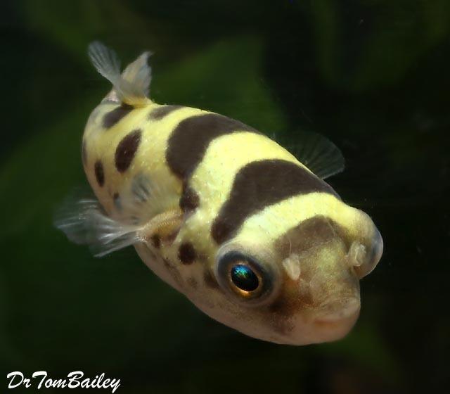 Premium, Wild, Ceylon Pufferfish, 1