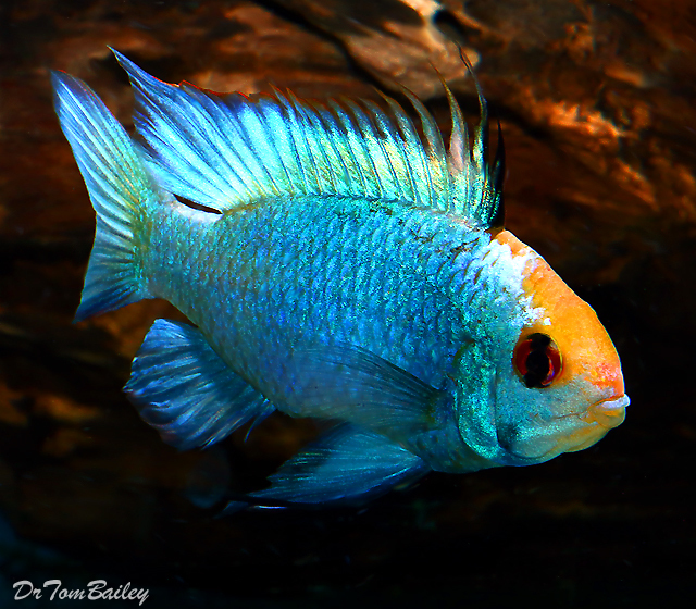 "Premium, New and Rare, Gold Cap Electric Blue Ram Cichlid, 1.5"" to 2"" long"