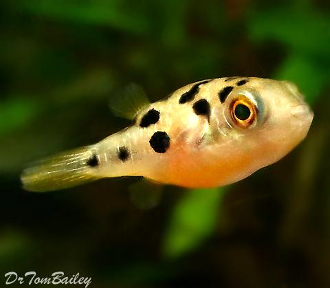 Premium Freshwater Dwarf Pufferfish, 0.75