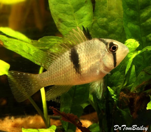 "Premium, Rare and New Bandit Cichlid, 2.5"" to 3"" long"