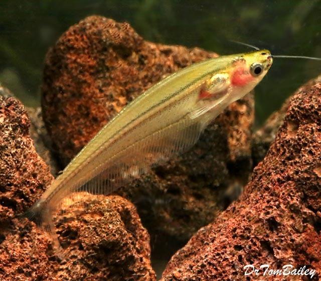 """Premium Rare New Striped Yellow Glass Catfish, 2"""" to 2.5"""" long"""