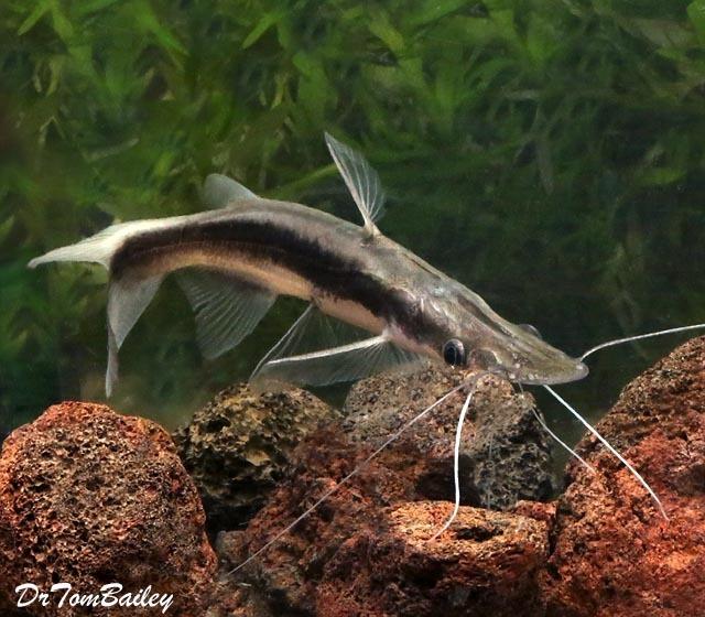 Premium Lima Shovelnose Catfish, 3.5