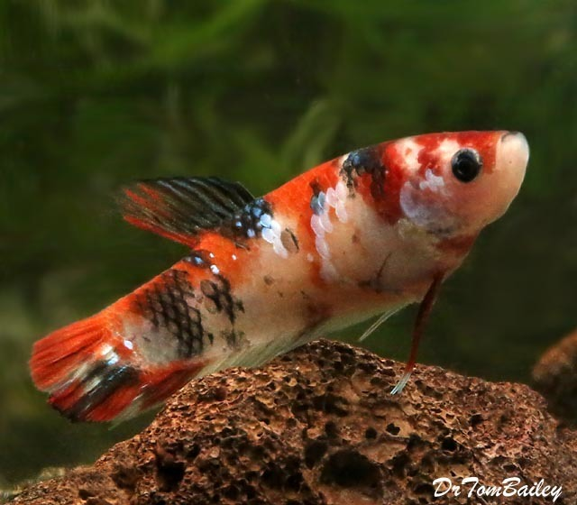 "Premium FEMALE Rare Showa Koi Betta Fish, 1.5"" to 2"" long"