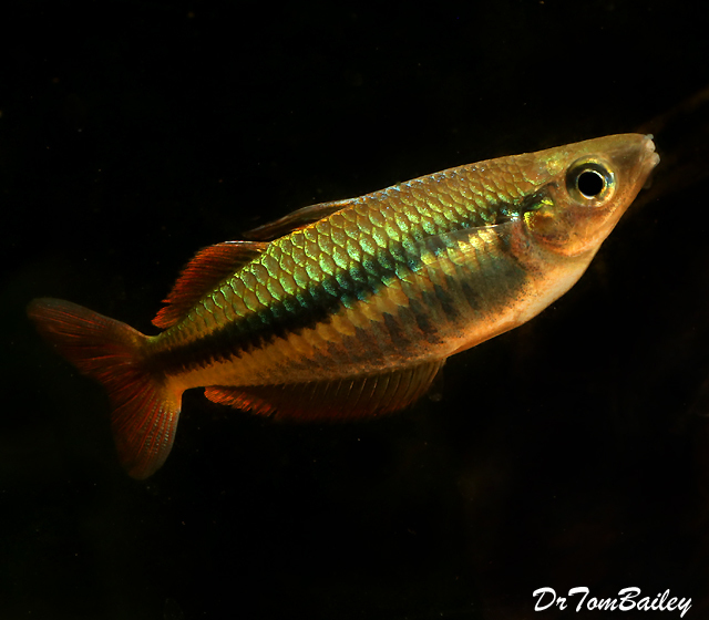 "Premium, Rare and New, Alleni Wapoga Rainbowfish, 1.5"" to 2"" long"