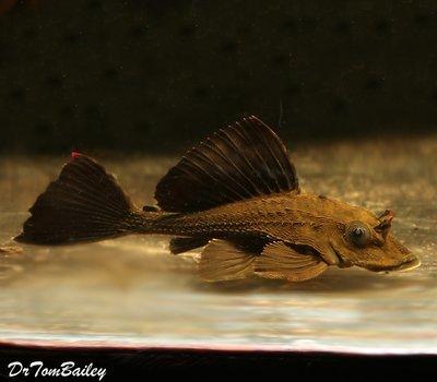 Premium WILD, Rare and New, Rhino Plecostomus Catfish, Size: 2