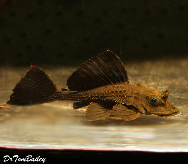 Premium, Wild, Rare and New, Rhino Plecostomus Catfish, 2
