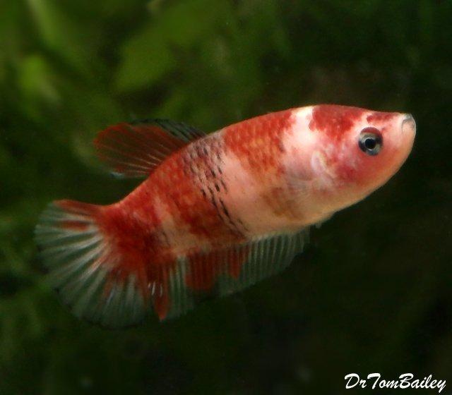 Premium WYSIWYG, Rare Female Showa Koi Betta Fish, 1.5