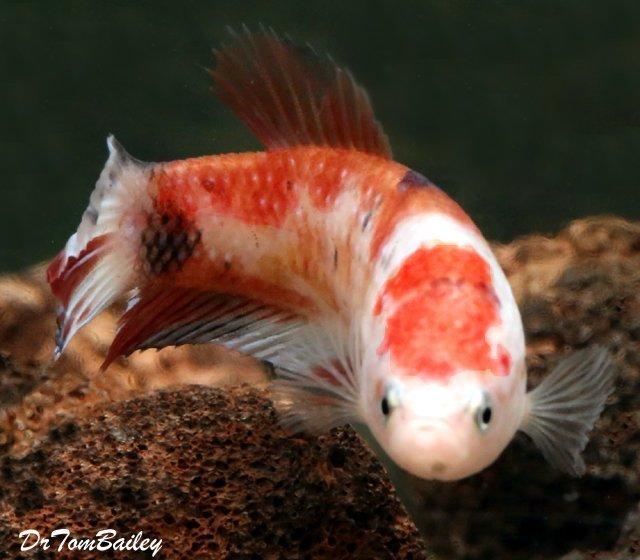 """Premium WYSIWYG, Rare Female Showa Koi Betta Fish, 1.5"""" to 2"""" long"""
