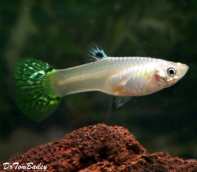 "Premium FEMALE Green Cobra Fancy Guppy, 1"" to 1.5"" long"