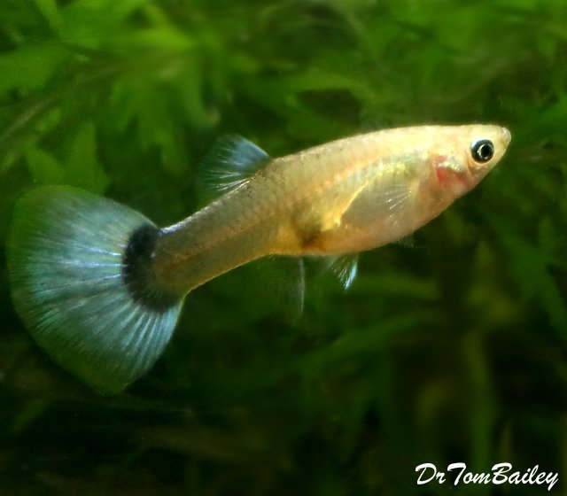 "Premium FEMALE Metallic Blue Fancy Guppy, 1"" to 1.2"" long"