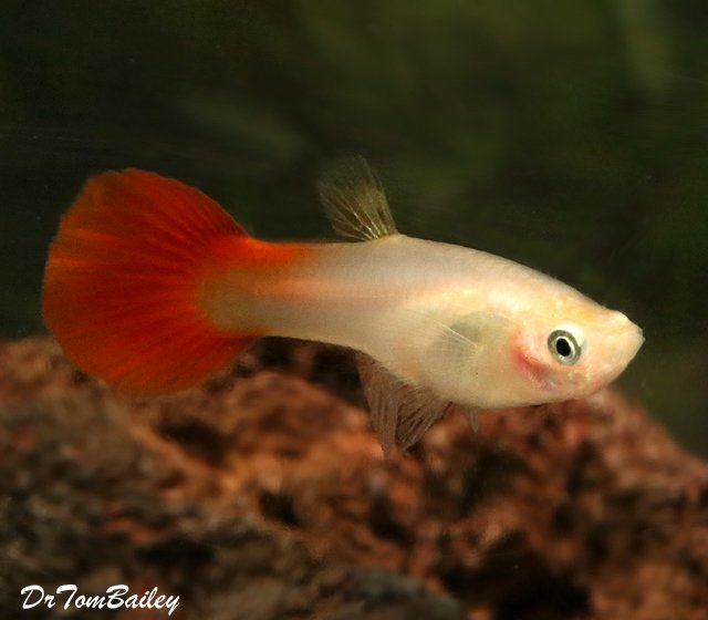 "Premium FEMALE Coral Red Fancy Guppy, 1"" to 1.5"" long"