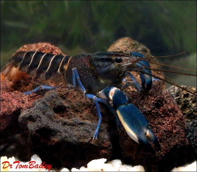 Premium Rare Marbled Blue Lobster, 3