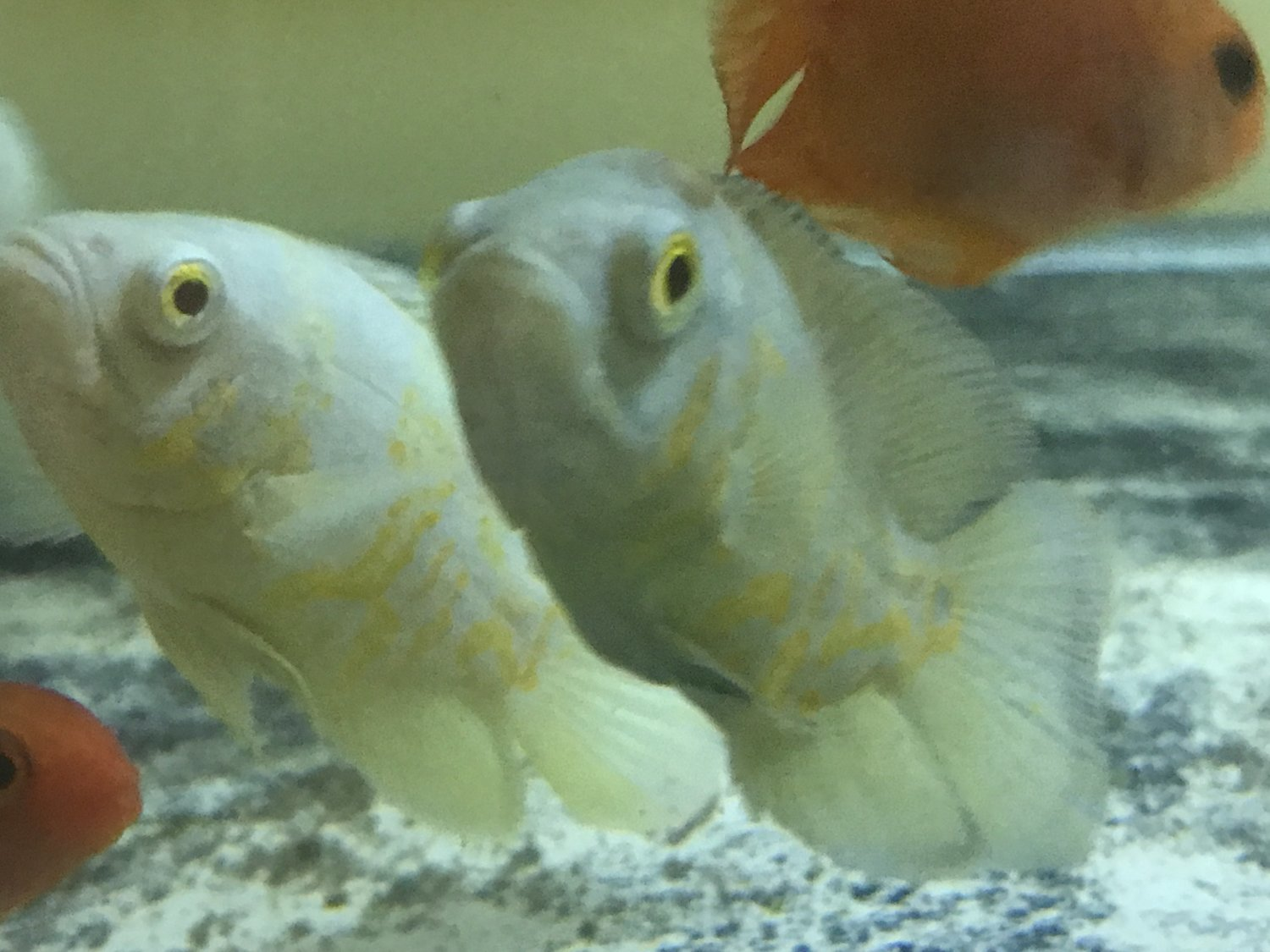 "Premium  Rare, Lemon Yellow Oscar Cichlid, 2"" to 2.5"" long"