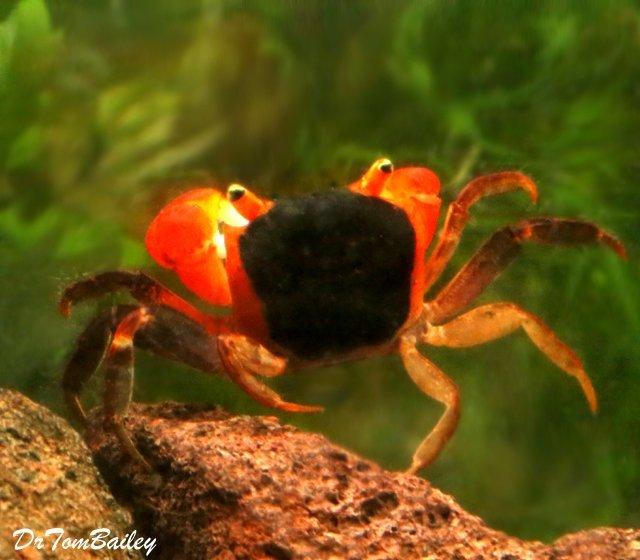 Premium Freshwater Red Apple Crab, 1