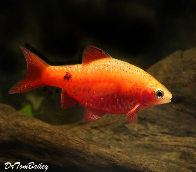 "Premium Red Glass Rosy Barb, 1"" to 1.5"" long"