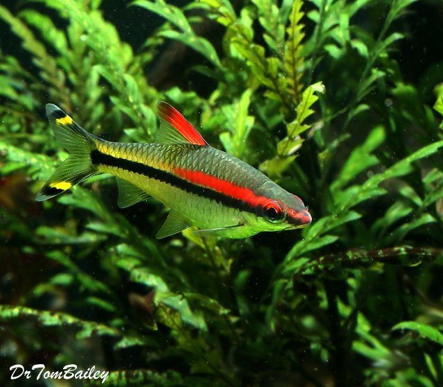 "Premium Denison's Red Roseline Torpedo Barb, Size: 1.5"" to 2"""