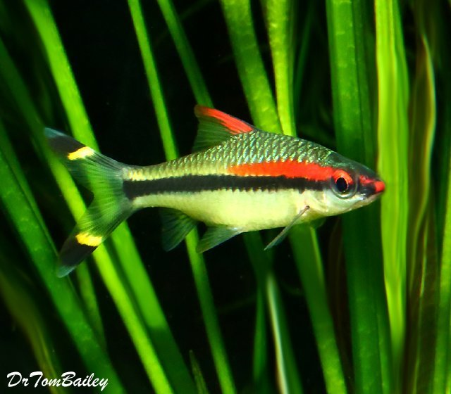 "Premium Denison's Red Roseline Torpedo Barb, 2"" to 2.5"" long"