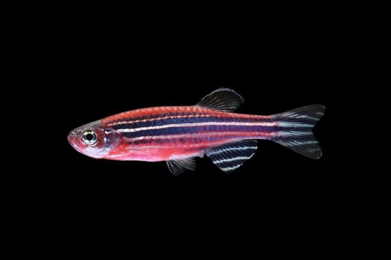 Premium Starfire Red Striped GloFish Danio, 1