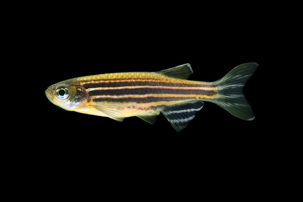 """Premium Sunburst Orange Striped GloFish Danio, 1"""" to 1.2"""" long"""